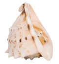 Conch shell big sea isolated on white Stock Photos