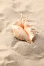 Conch shell over sand sandy background close up Stock Image