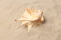 Conch shell over sand sandy background close up see my other works in portfolio Stock Images