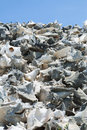 Conch shell pile of shells in lac cai bonaire caribbean Royalty Free Stock Photos