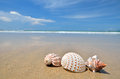 Conch shell on the sandy beach Stock Photos