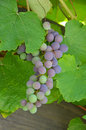 Concord grapes Stock Photography