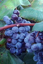 Concord wine grapes Stock Image
