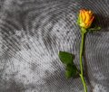 Condolence card with yellow rose Royalty Free Stock Photo