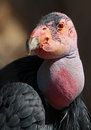 Condor close up detail of great california head Royalty Free Stock Images