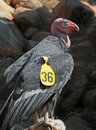 Condor Royalty Free Stock Photo