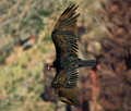 Condor flying in grand canyon below m Royalty Free Stock Image