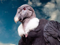 A condor stands against a blue sky Royalty Free Stock Photo