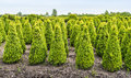 Cone buxus bushes in a specialized nursery in netherlands young boxwood shrubs grwoning the Stock Images