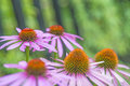 Cone flower, Echinacea purpurea Royalty Free Stock Photo
