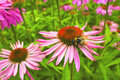 Cone flowers in a garden purple and orange perennial echinacea purpurea maxima Stock Image