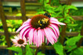 Cone flowers in a garden purple and orange perennial echinacea purpurea maxima Royalty Free Stock Photo