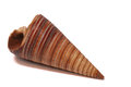 Cone seashell a close up photo taken on a brown clone shaped against a white backdrop Royalty Free Stock Photo