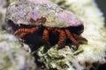 Cone shell hermit crab (ciliopagurus strigatus) Royalty Free Stock Photo