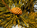 Cone on the tree small with long needles Royalty Free Stock Photo