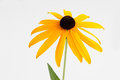 Coneflower against white background isolated on Royalty Free Stock Images
