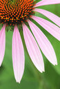 Coneflower the close up of blooming Royalty Free Stock Photography
