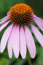 Coneflower the close up of flower of Royalty Free Stock Photo