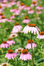 Coneflower the coneflowers are blooming in summer Royalty Free Stock Image