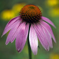 Coneflower pourpré - Echinacea Photo stock