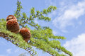 Cones on the branch over blue sky Royalty Free Stock Photography