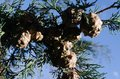cones on the branches of a cypress tree in Nabran Azerbaijan. Selective focus. Winter time Royalty Free Stock Photo