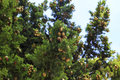 Cones on a cypress tree Royalty Free Stock Photo