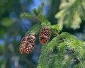 Cones de abeto Imagens de Stock Royalty Free