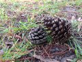 The cones in fir park at chiang mai Royalty Free Stock Photography