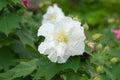 Confederate rose flower hibiscus mutabilis Stock Photography
