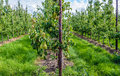 Conference pears ripening in the foreground of a modern orchard Royalty Free Stock Photo