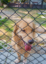 Confine dog golden retriever lock down in cage Royalty Free Stock Image