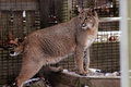 Confined bobcat a rescued exotic pet in an enclosure Stock Images
