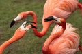 Conflict of flamingo Stock Photos