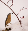 Confused eurasian nuthatch moves deeply snow covered ground food not all used to unfamiliar habitat which far logs trees which s Royalty Free Stock Photos
