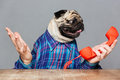 Confused pug dog with man hands holding red phone receiver Royalty Free Stock Photo
