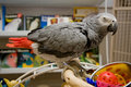 Congo African Grey Stock Photo