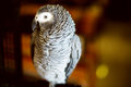 Congo African grey parrot also named jaco Royalty Free Stock Photo