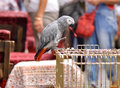 Congo African Grey Parrot standing on the cage Psittacus erithacus erithacus Royalty Free Stock Photo