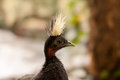 Congo peacock looking sidewards with punk hairstyle Stock Images