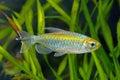 Congo tetra fish in the aquarium Stock Photography