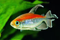 Congo tetra fish in the aquarium Royalty Free Stock Photos