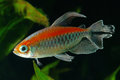 Congo tetra fish in the aquarium Stock Photo