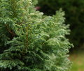Conifer a beautiful decorative in a garden setting in subdued light Royalty Free Stock Photo
