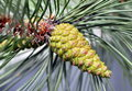 Conifer branch with cone close up detail green cones Stock Photos