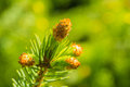 A conifer branch macro shot of Stock Photos