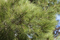 Conifer branches texture close up of green in summer Stock Photos