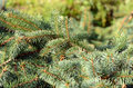 Conifer branchlets branches of picea pungens Royalty Free Stock Photography