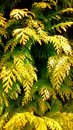 Conifer close up of branches on a tree in the sunlight Royalty Free Stock Photography