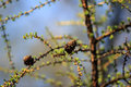 Conifer cone on the branch closeup Royalty Free Stock Photography